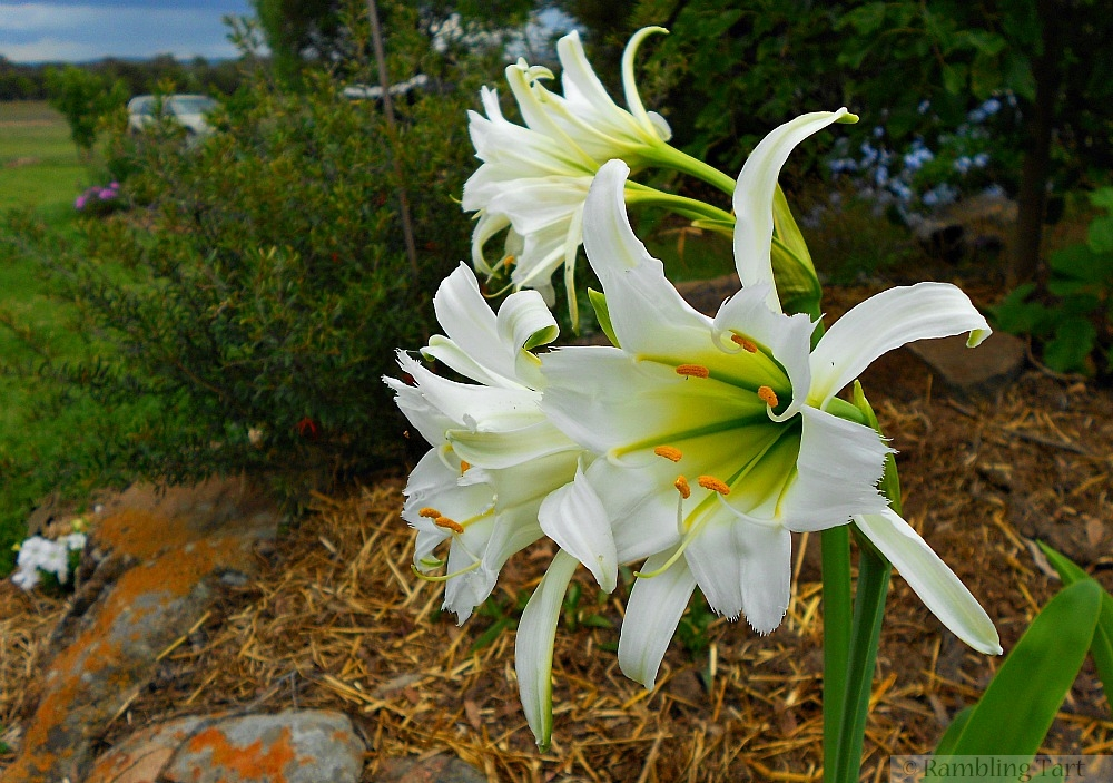 chocolate scented lily