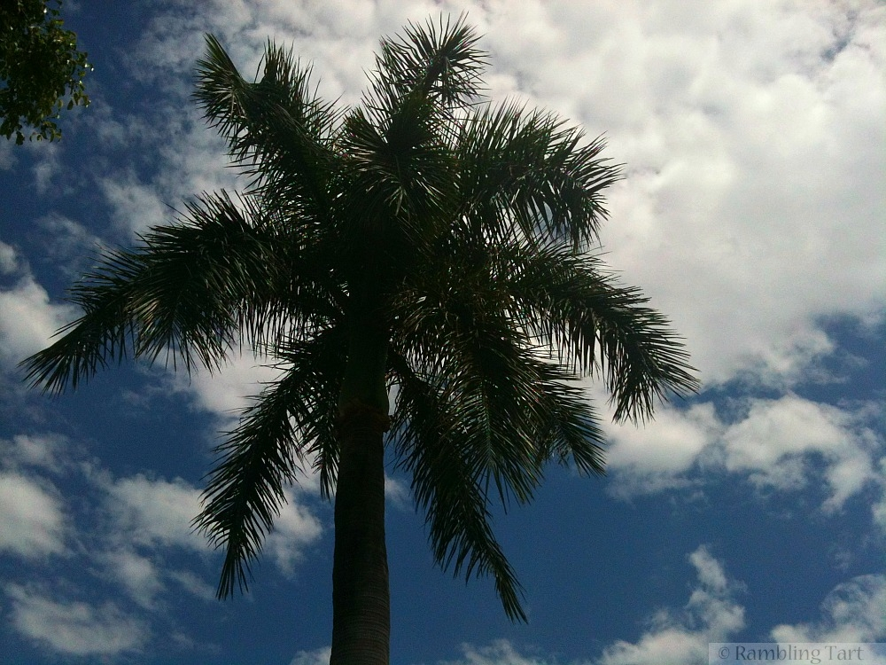Brisbane palm tree