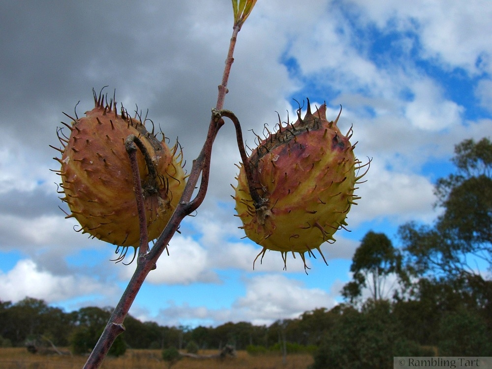 Autumn pods