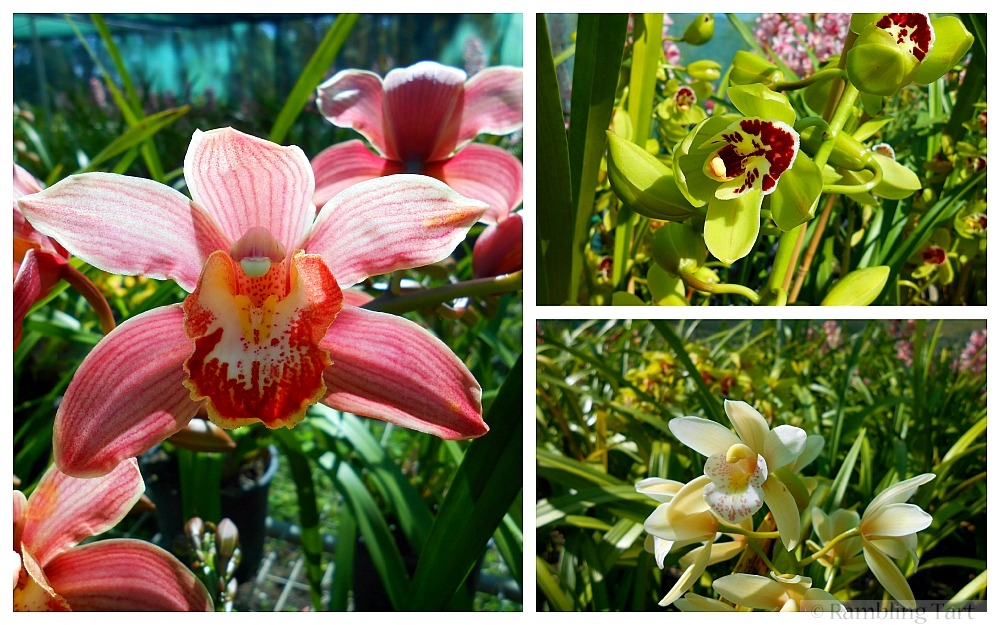 Queensland orchids