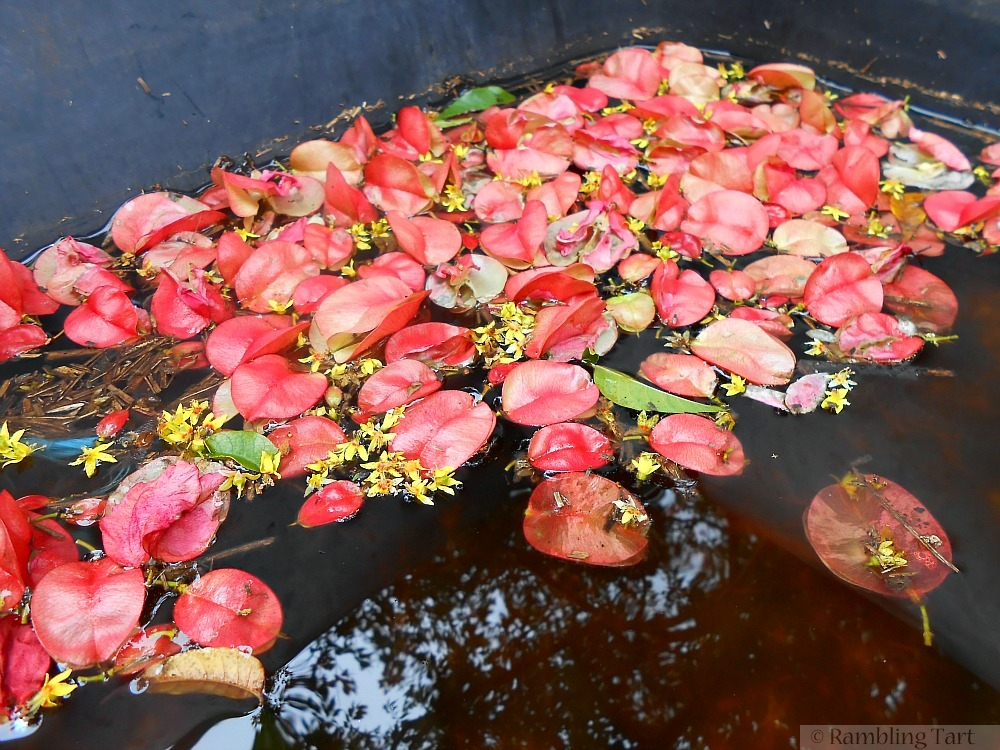 pink seed pods on water