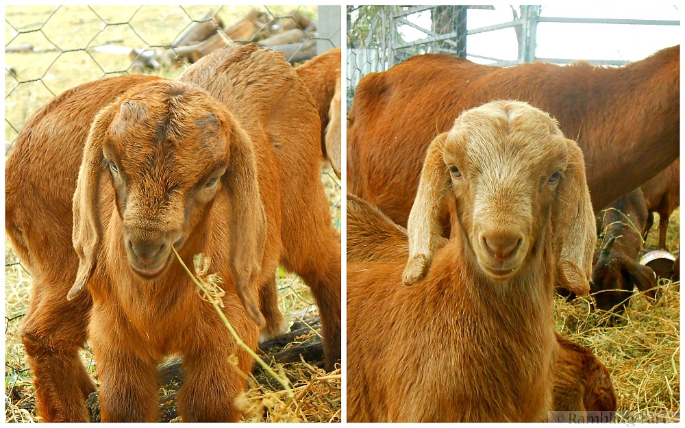 baby goat faces