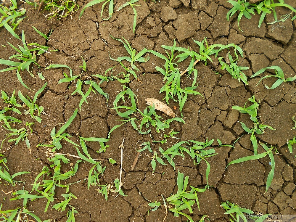 grass through parched ground