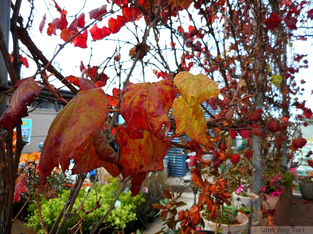 red leaf vine
