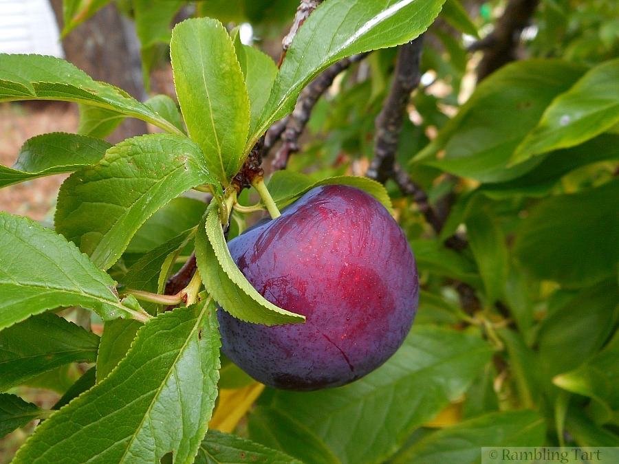 purple plum