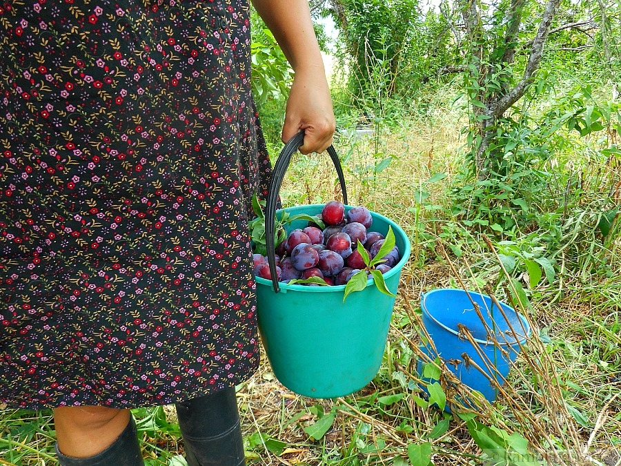 picking purple plums