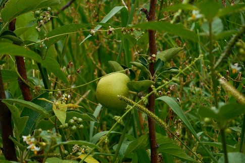 apple in an orchard