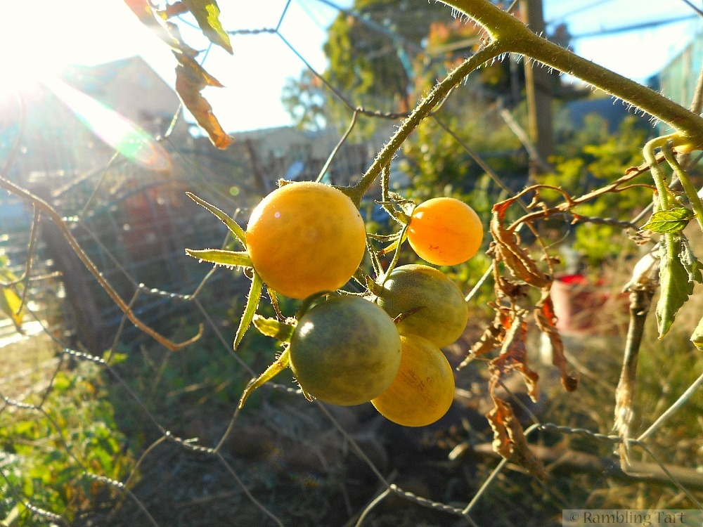 cherry tomatoes at sunset