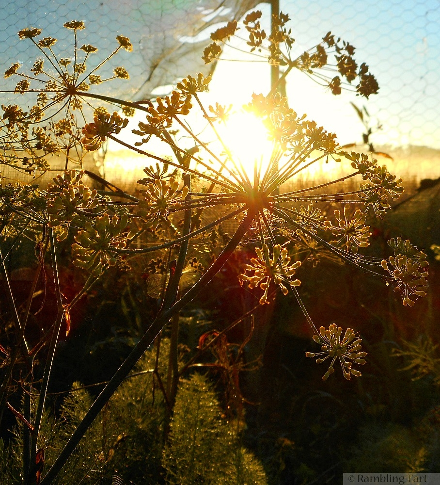 sunrise through fennel