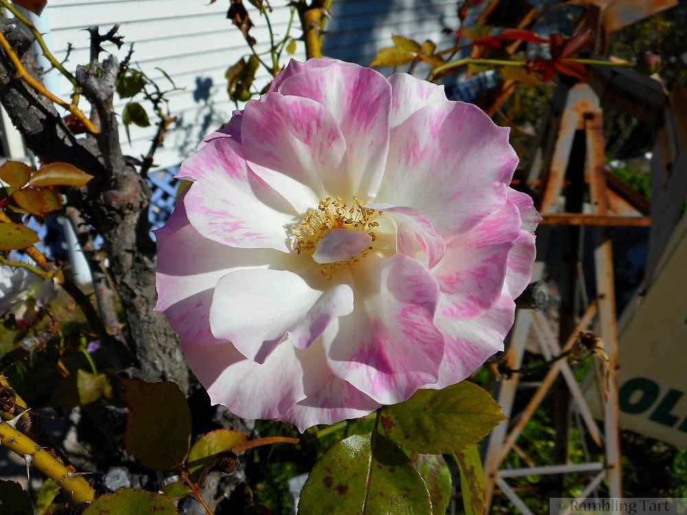 pale pink Autumn rose