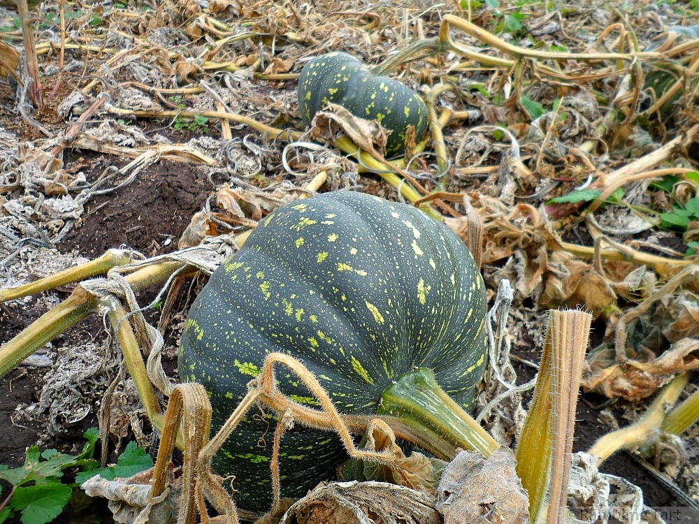 field pumpkin