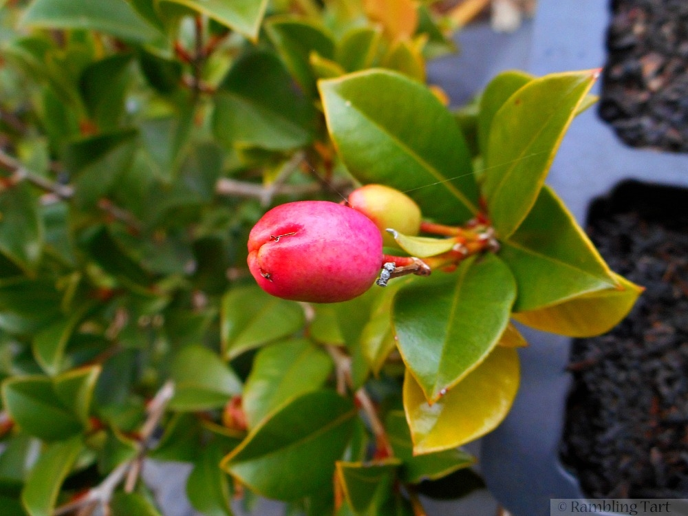 lilly pilly berry