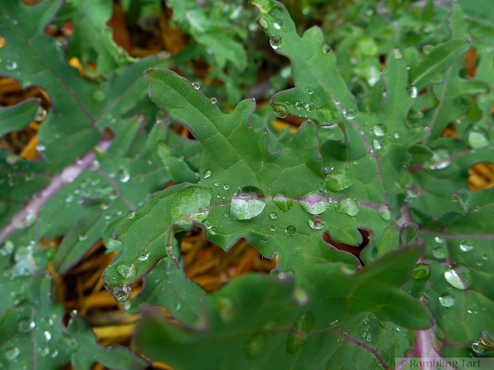 water droplets on kale leaf