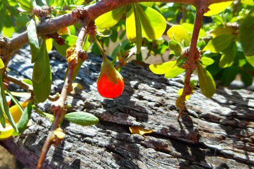 boxthorn berry