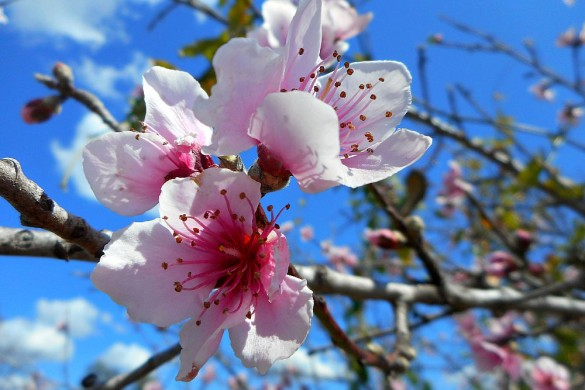 pink fruit blossoms