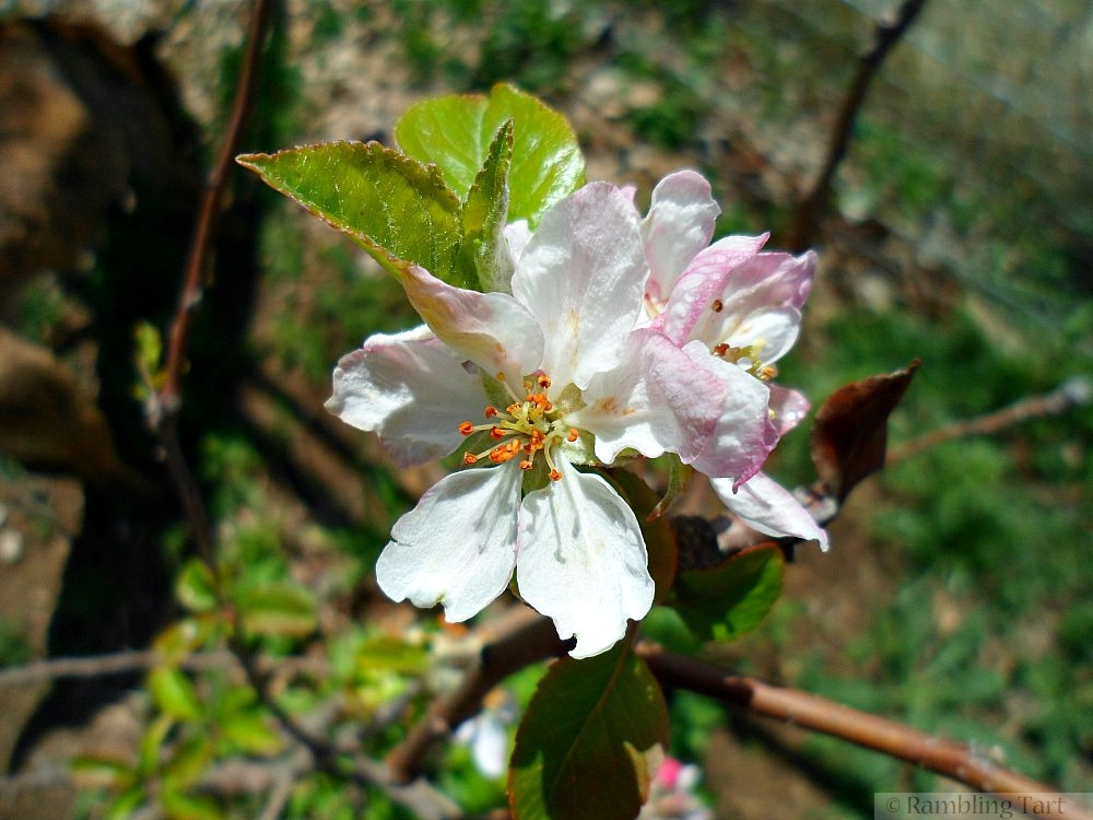 pale pink apple blossoms