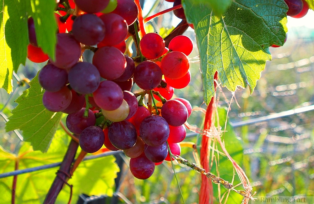 red grapes on vine