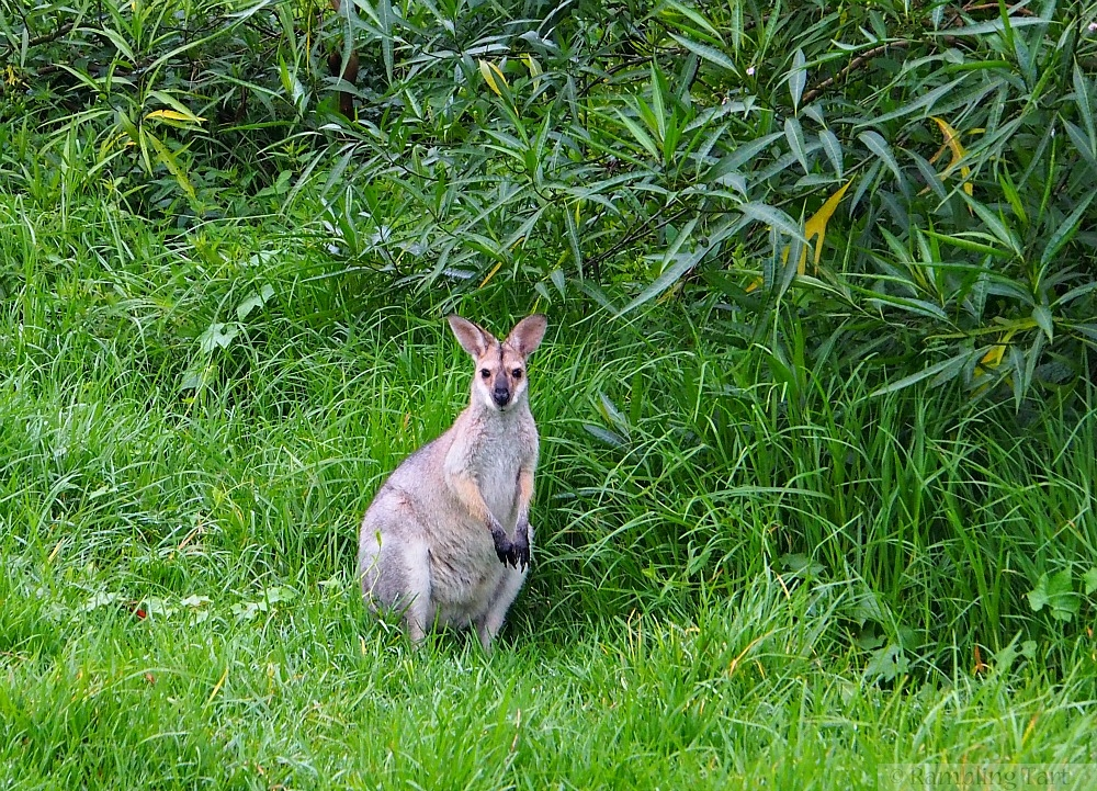 wallaby in grass