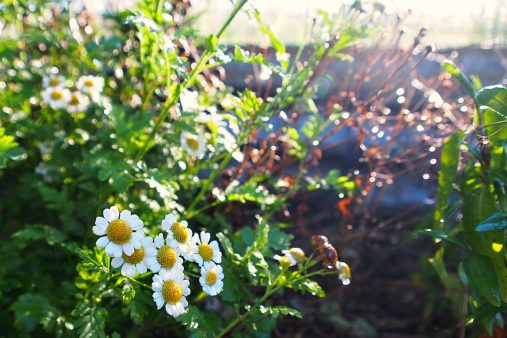 feverfew at sunrise