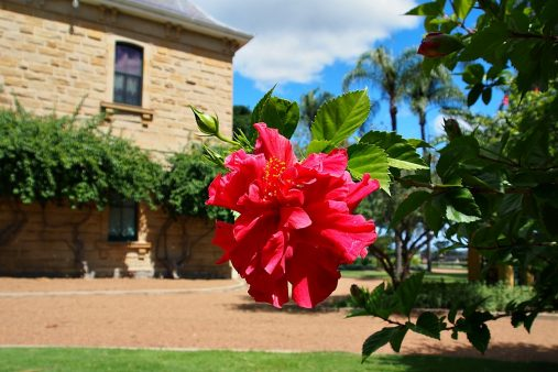 hibiscus at Jimbour House
