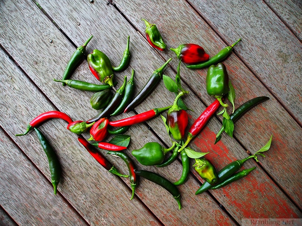 chili pepper harvest