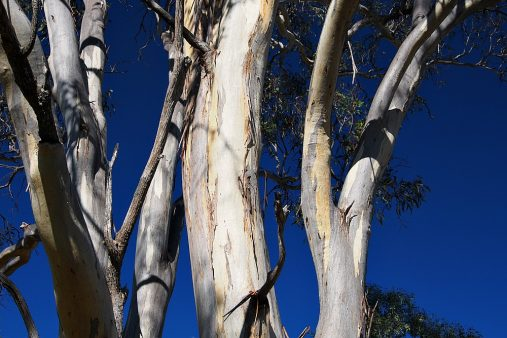 gum trees at sunset