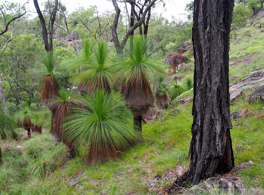 Coomba Grass Trees
