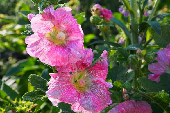dewy hollyhocks