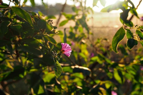 potato flower at sunrise