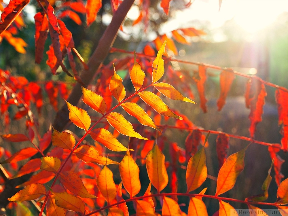 sunset through fall leaves