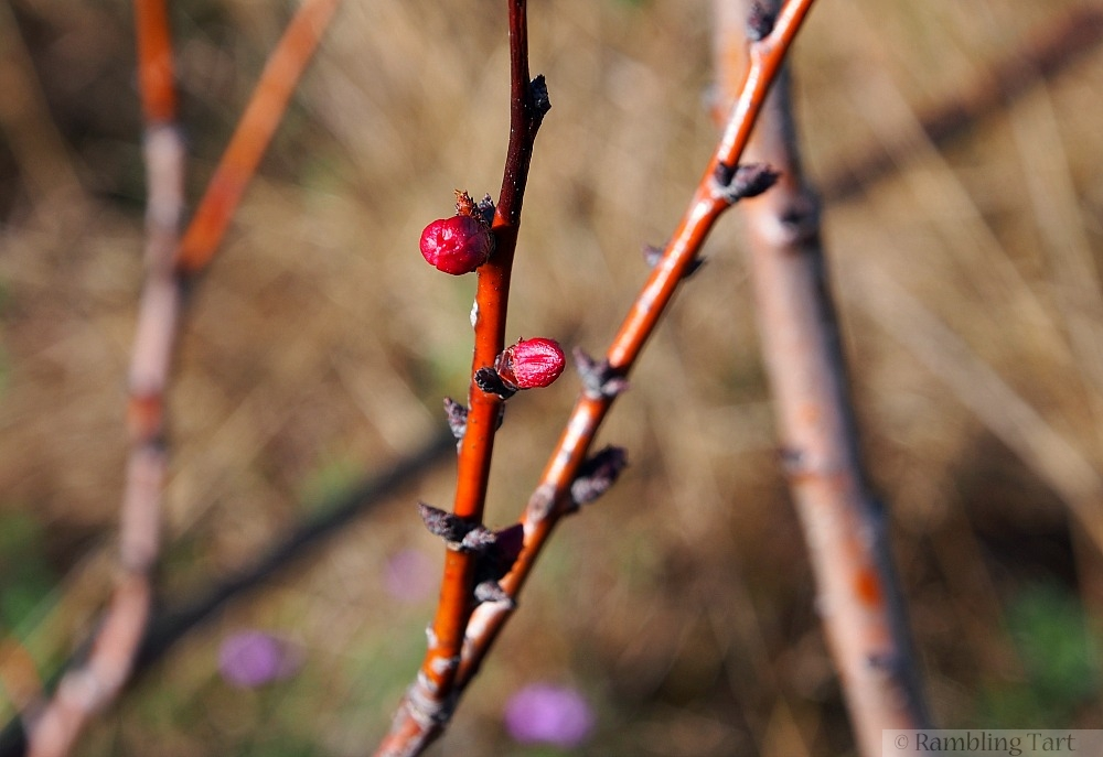 budding apricot tree