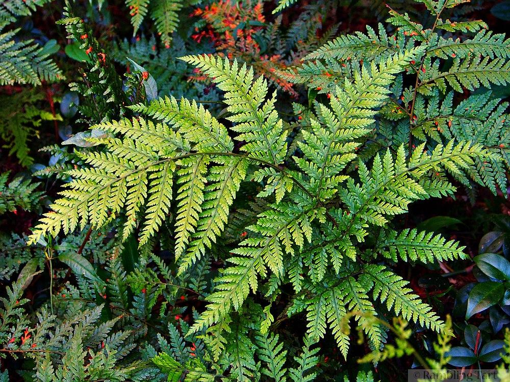 forest ferns