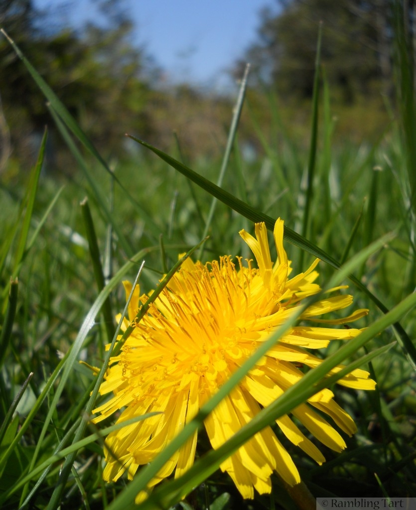 Dandelions in the grass
