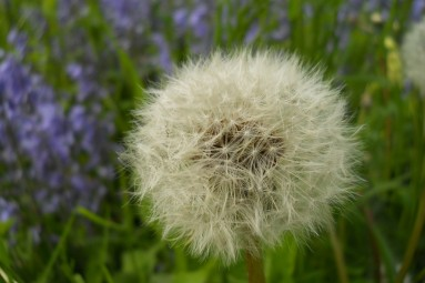 Dandelions and Bluebells