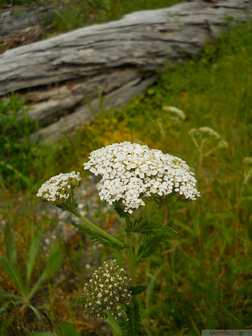 white meadow flowers