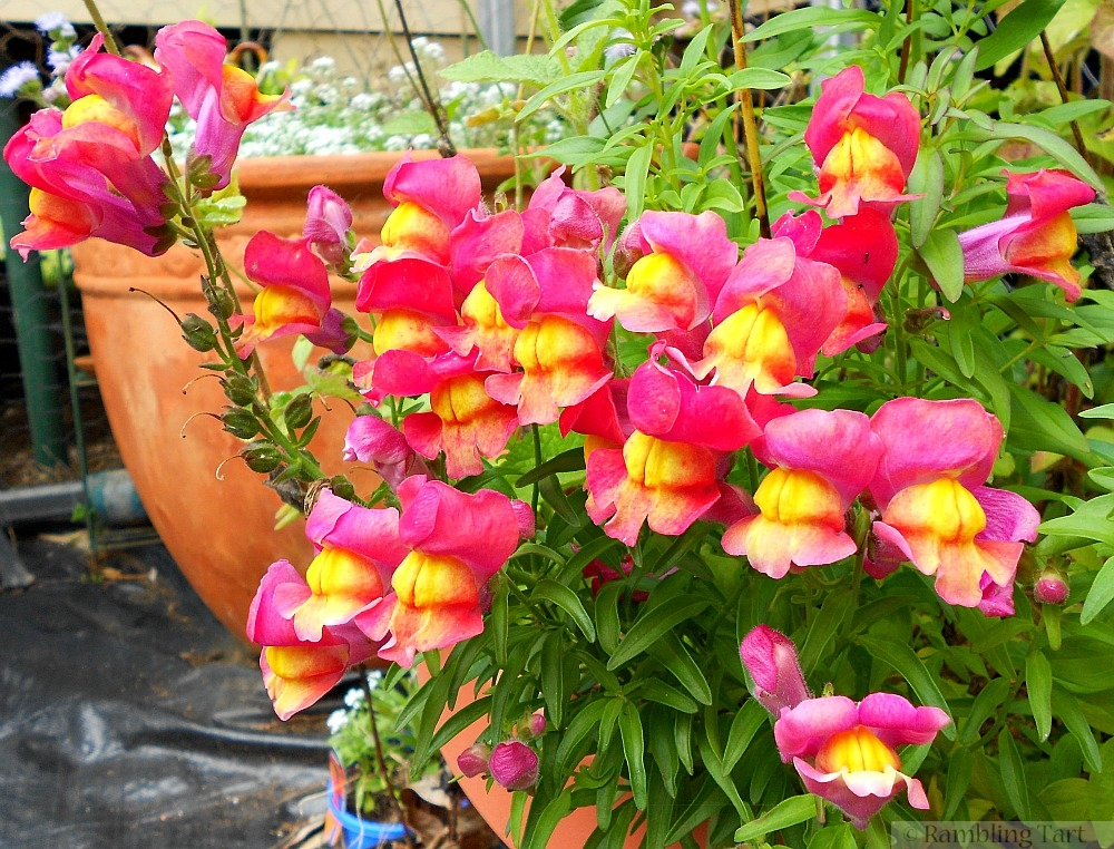 Pink and yellow snapdragons