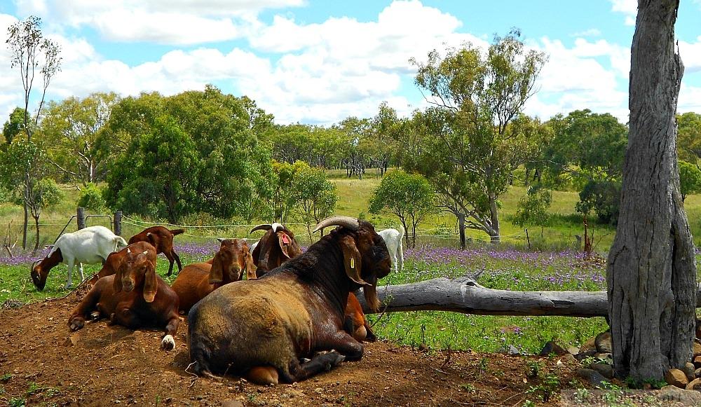 Kalahari goats resting