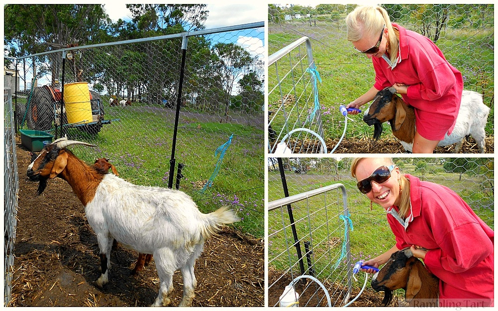 how to drench goats