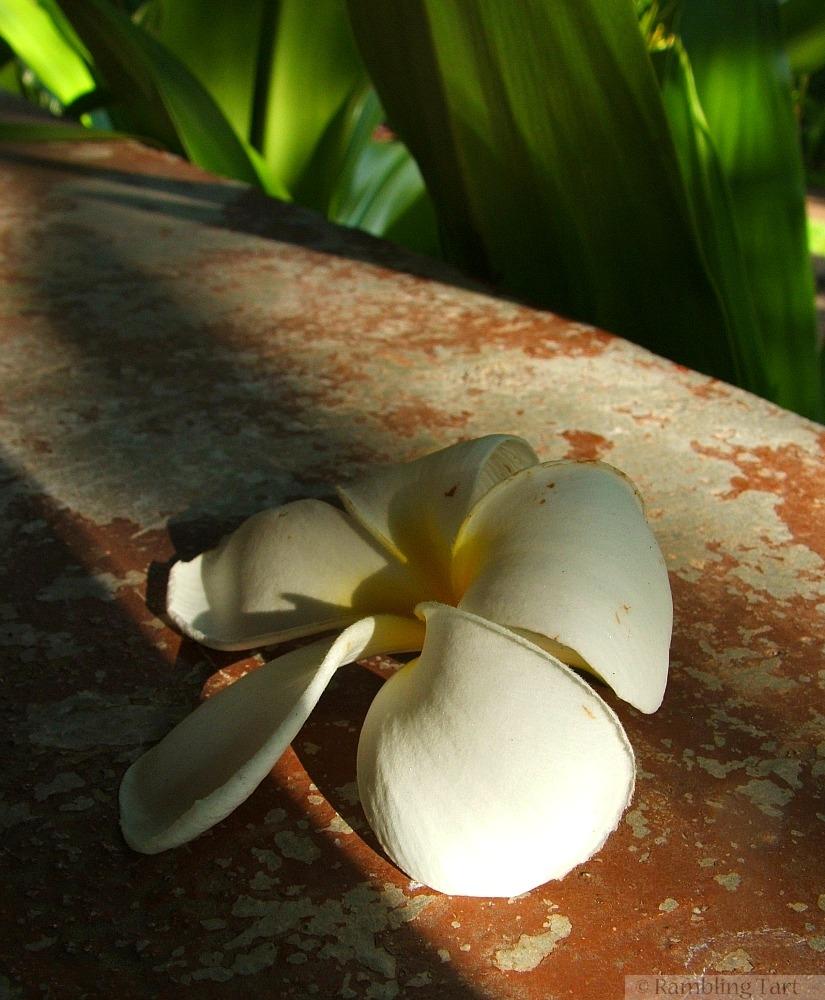 frangipani blossom