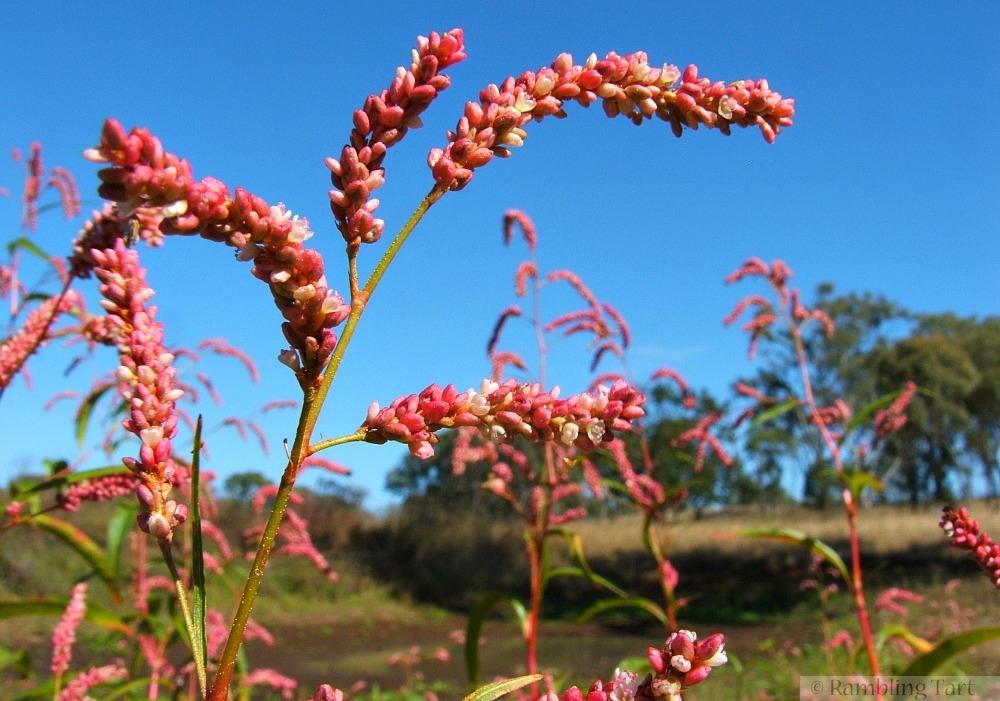 fuchsia weeds