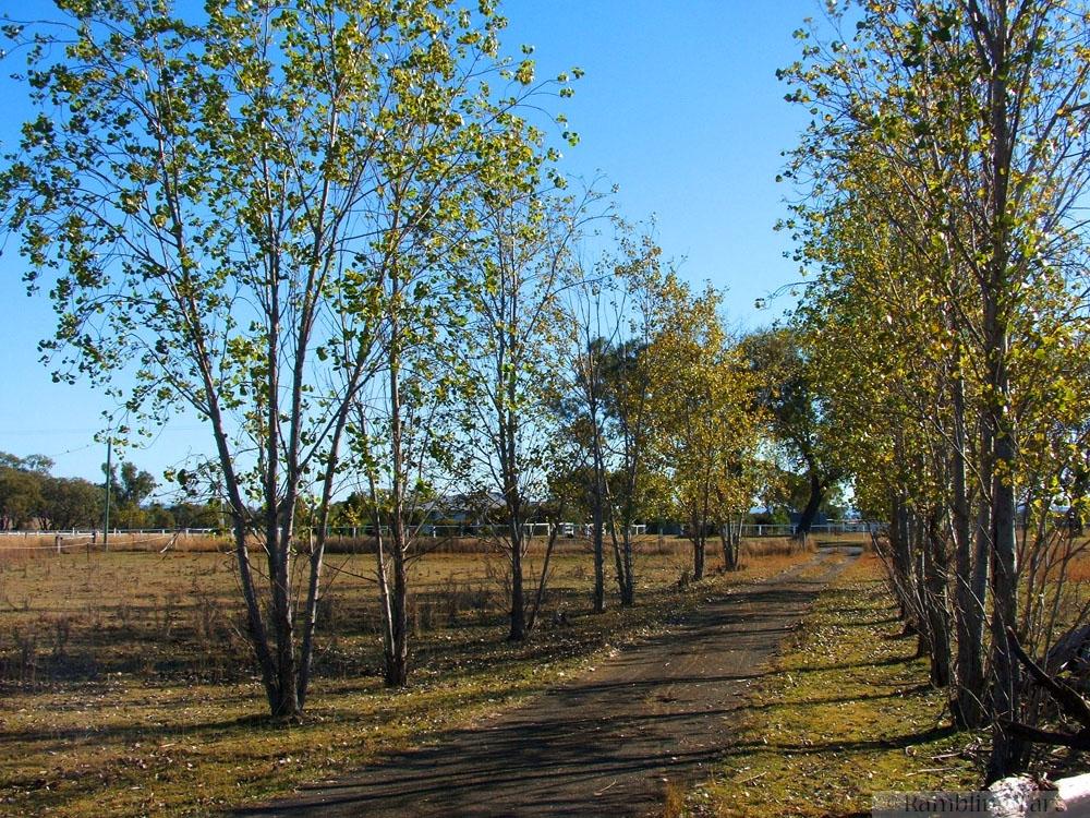 poplar lined drive