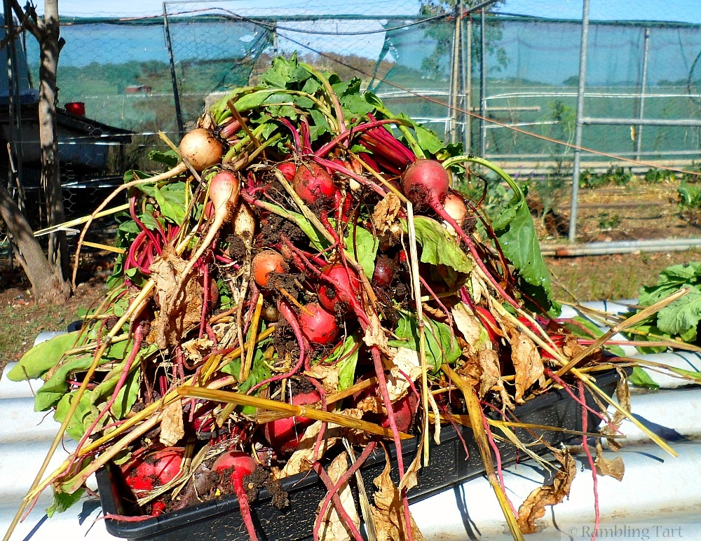 beets from the garden
