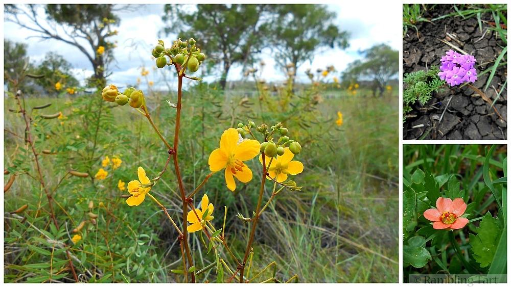 Australian meadow flowers