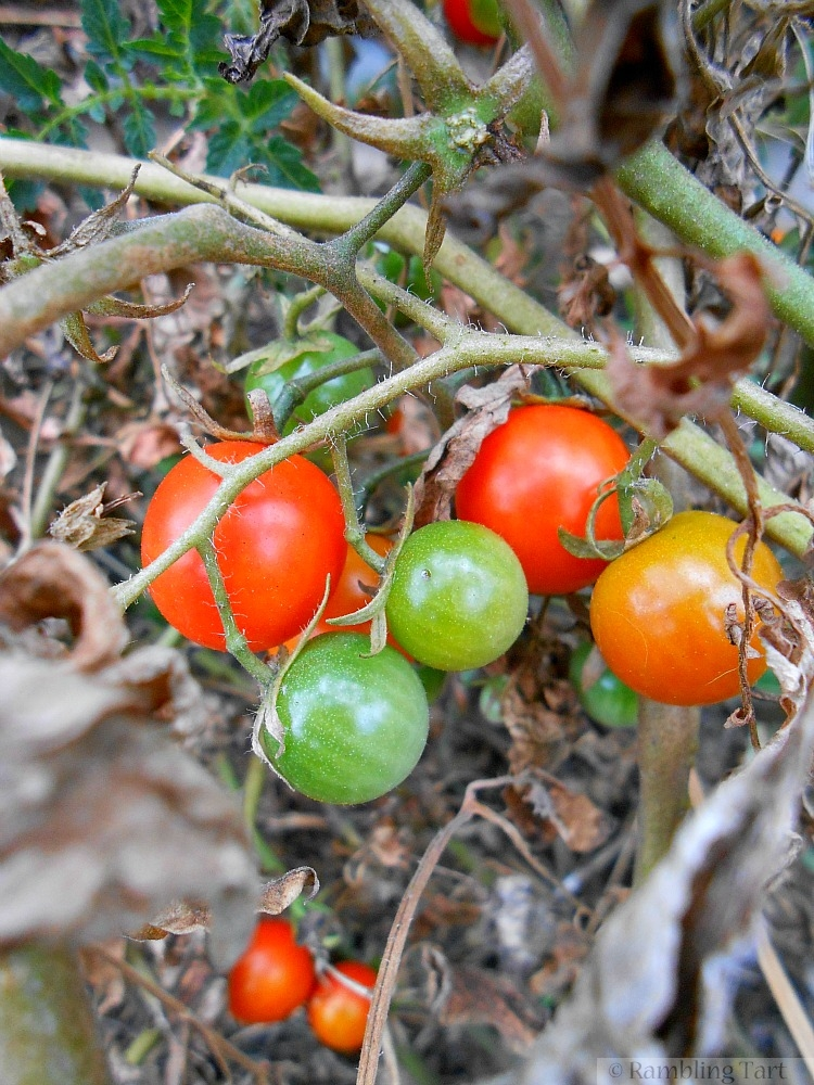 cherry tomatoes on the vine