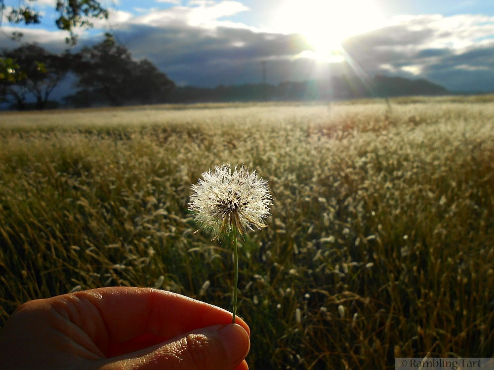 sunrise behind dandelion