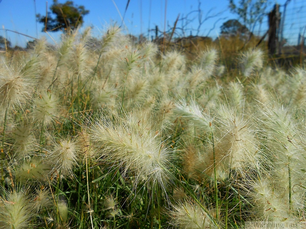 feathery weeds