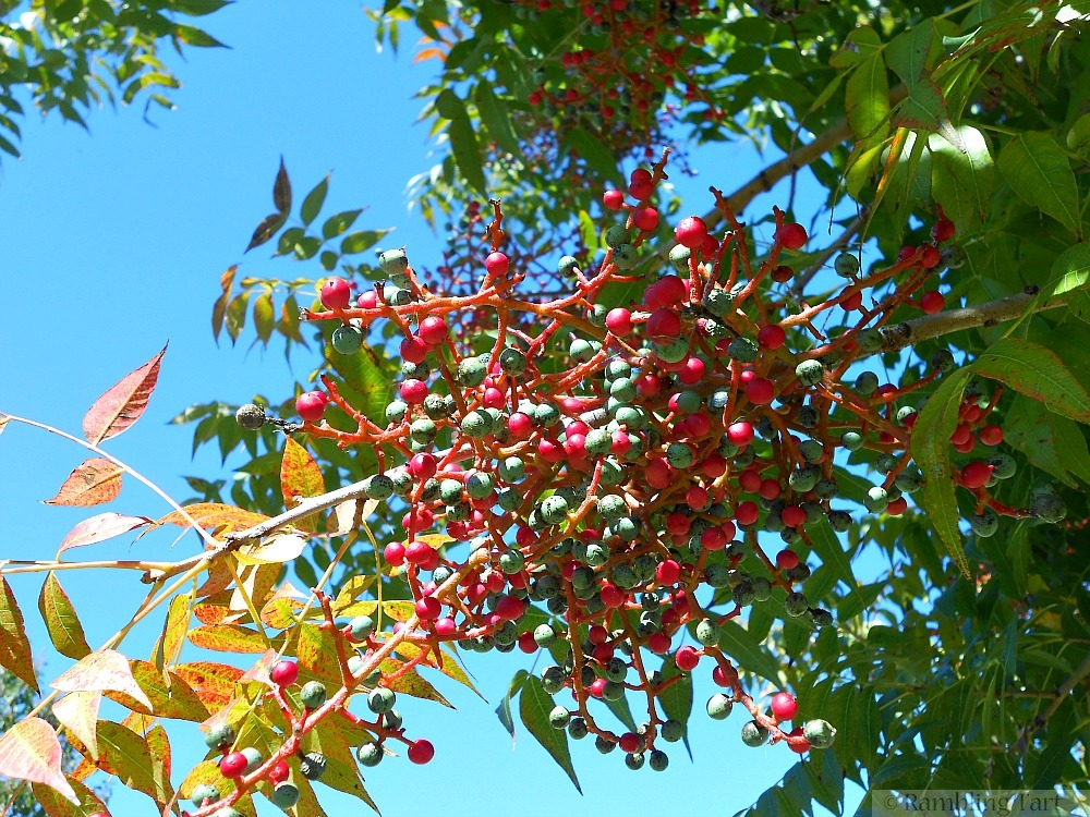 Australian berry tree
