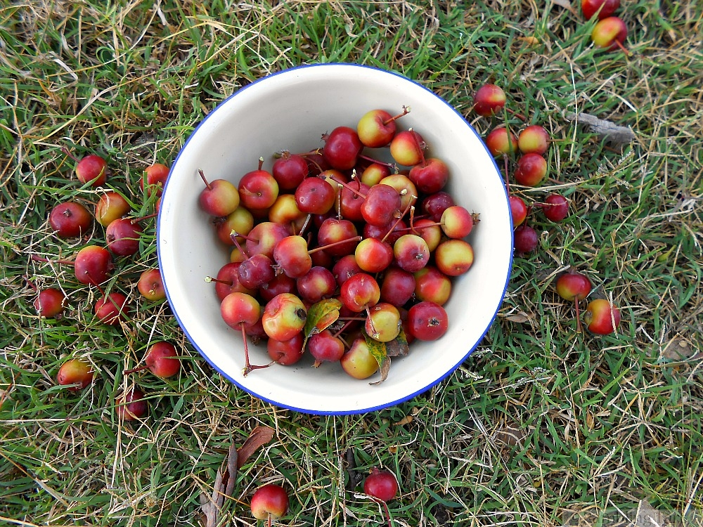 bowl of crab apples