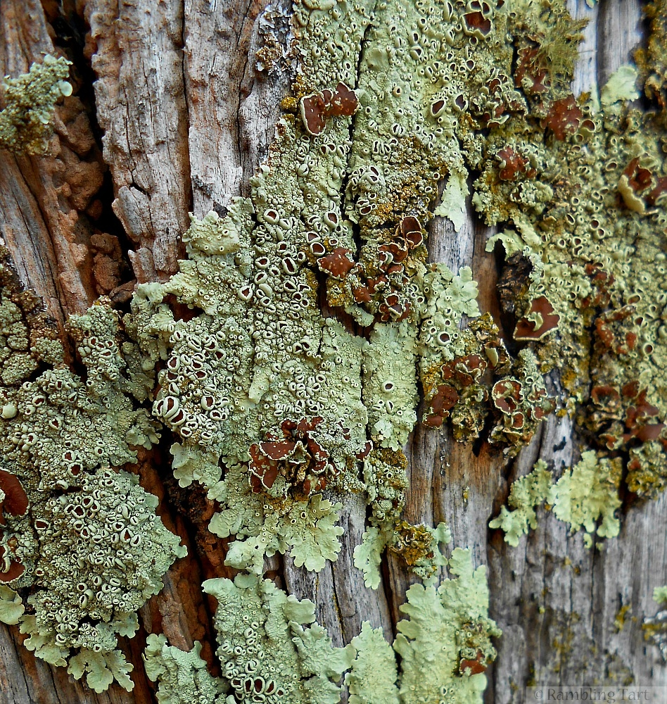 lichen on old wood