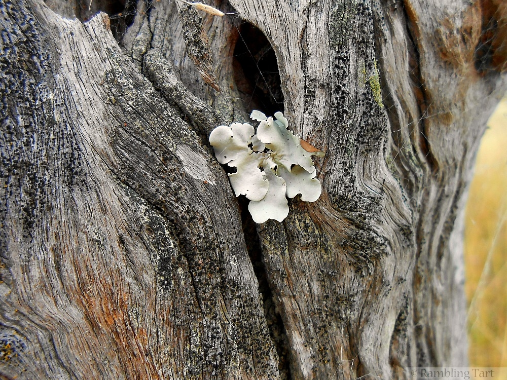 white lichen on wood